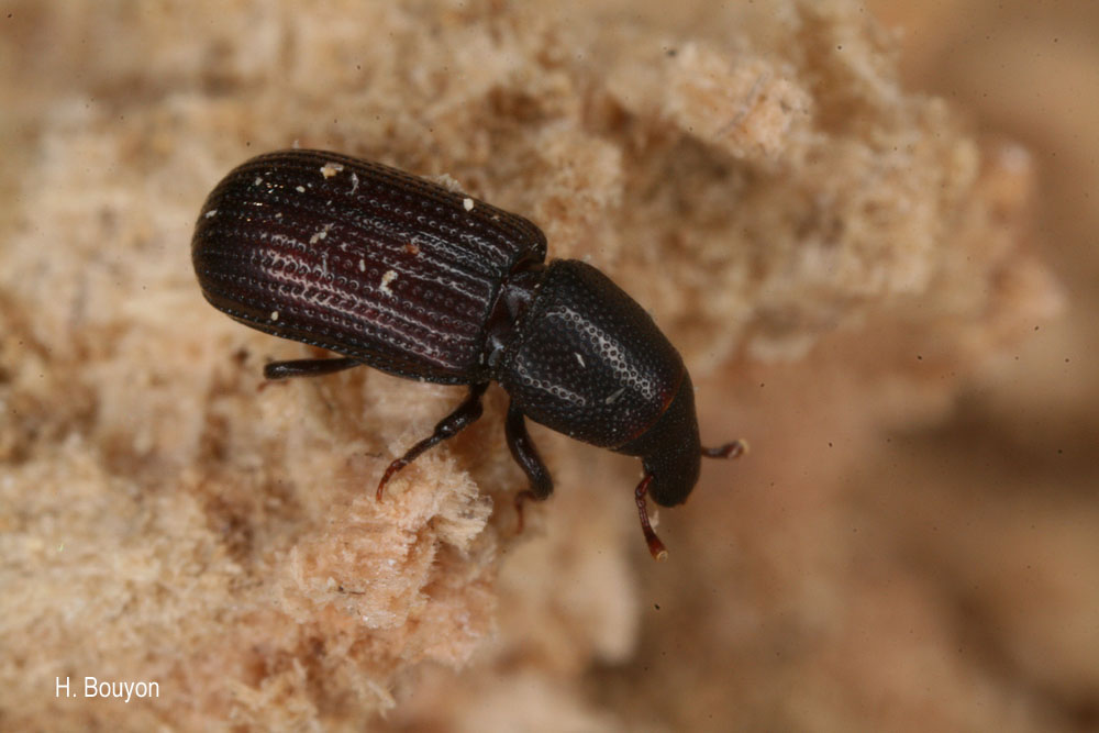 Stereocorynes truncorum