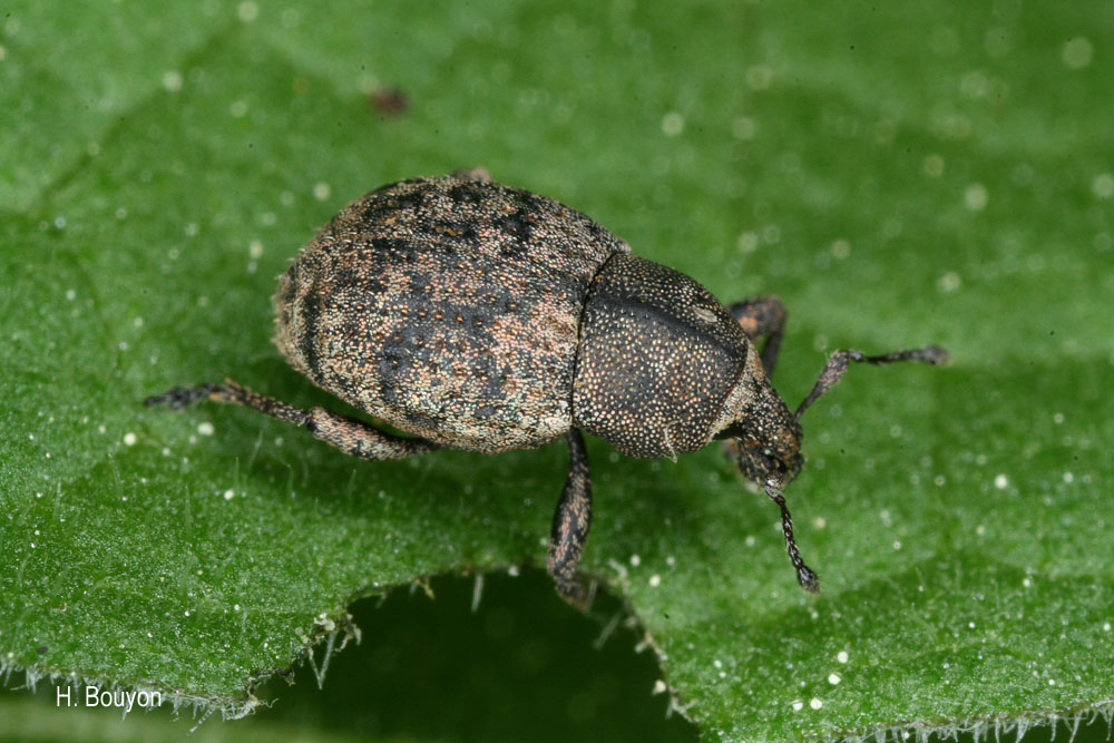 Tropiphorus elevatus