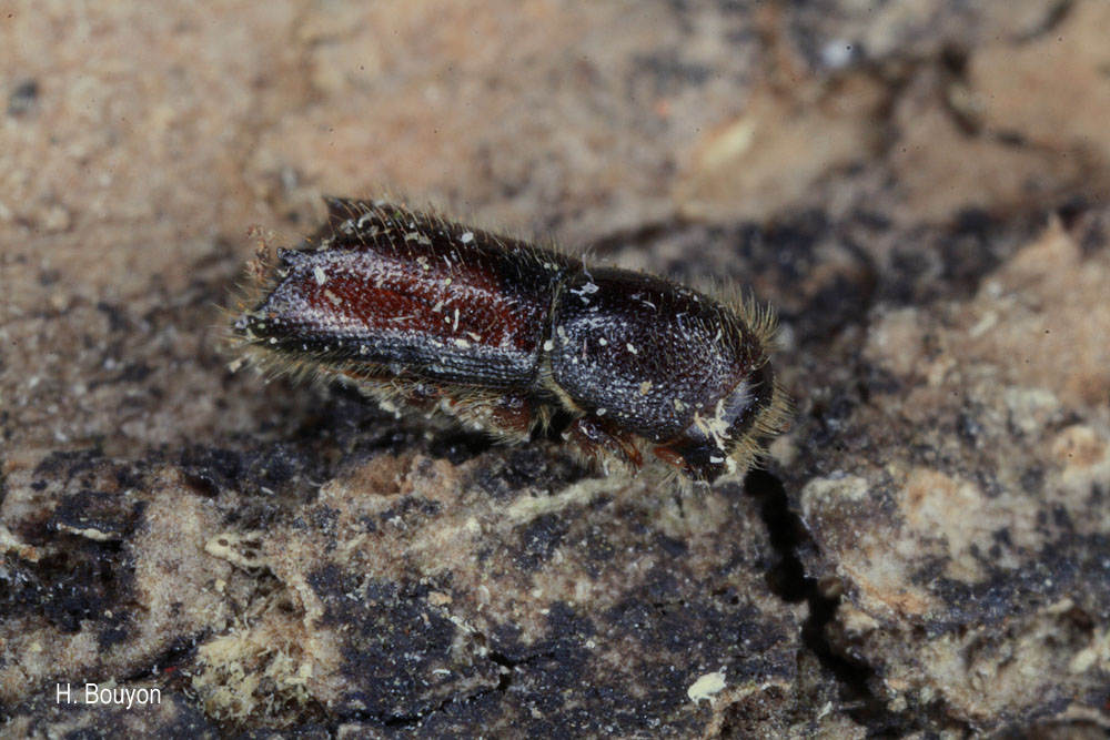 Xylocleptes bispinus