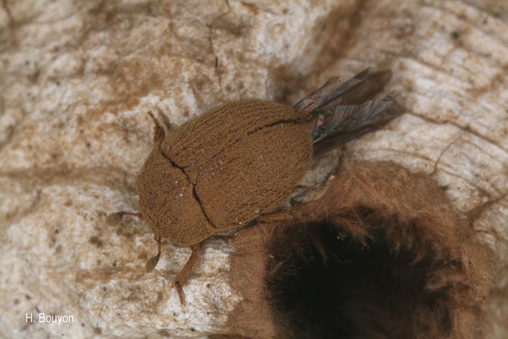 Pocadius ferrugineus