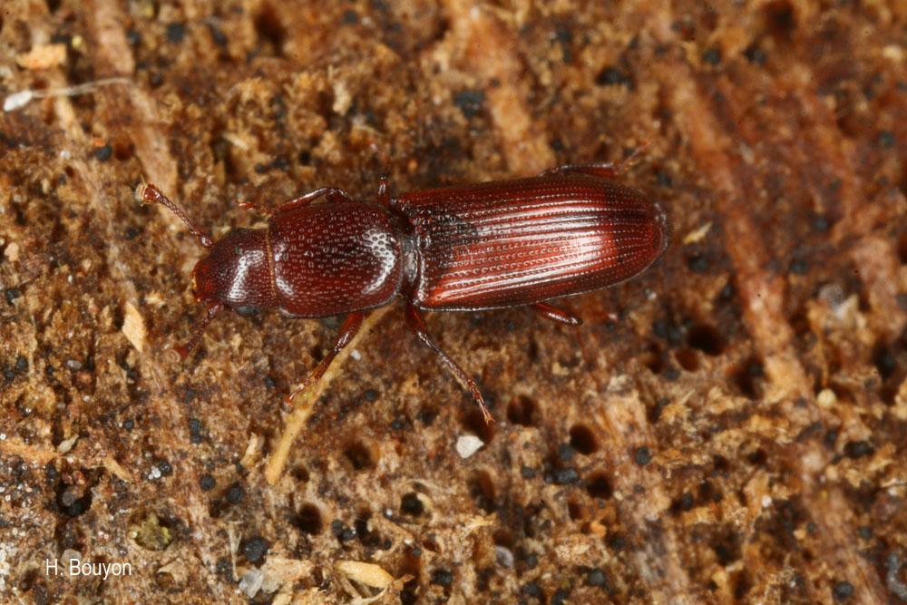 Rhizophagus ferrugineus