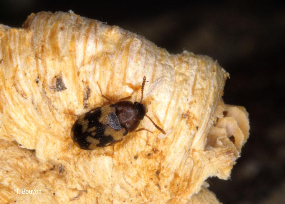 Mycetophagus salicis