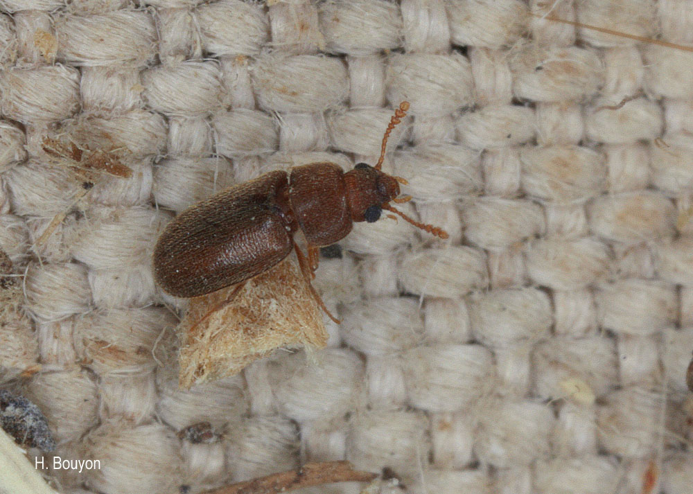 Typhaea haagi
