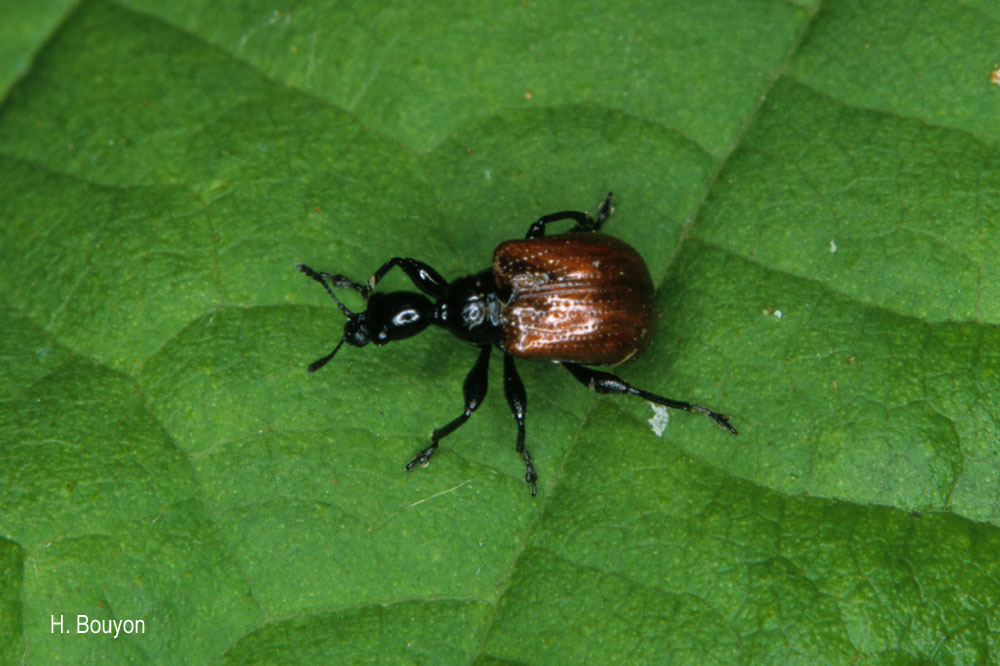 Compsapoderus erythropterus