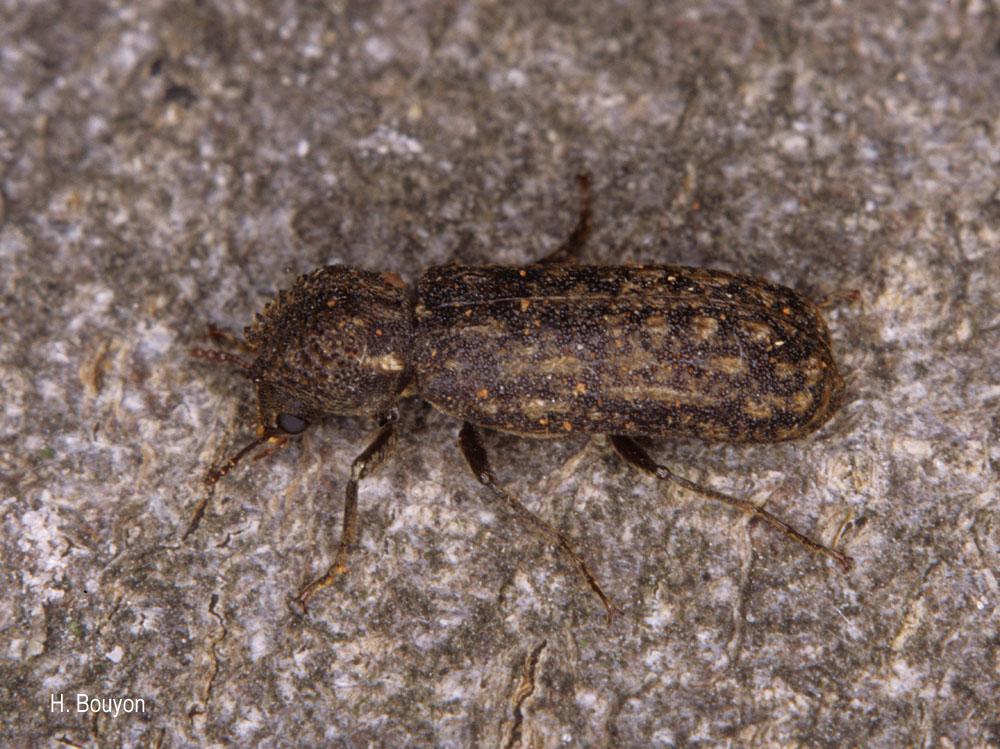 Lichenophanes varius