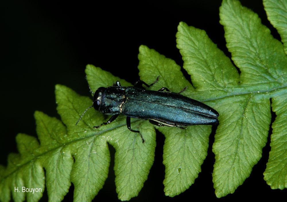 Agrilus sulcicollis