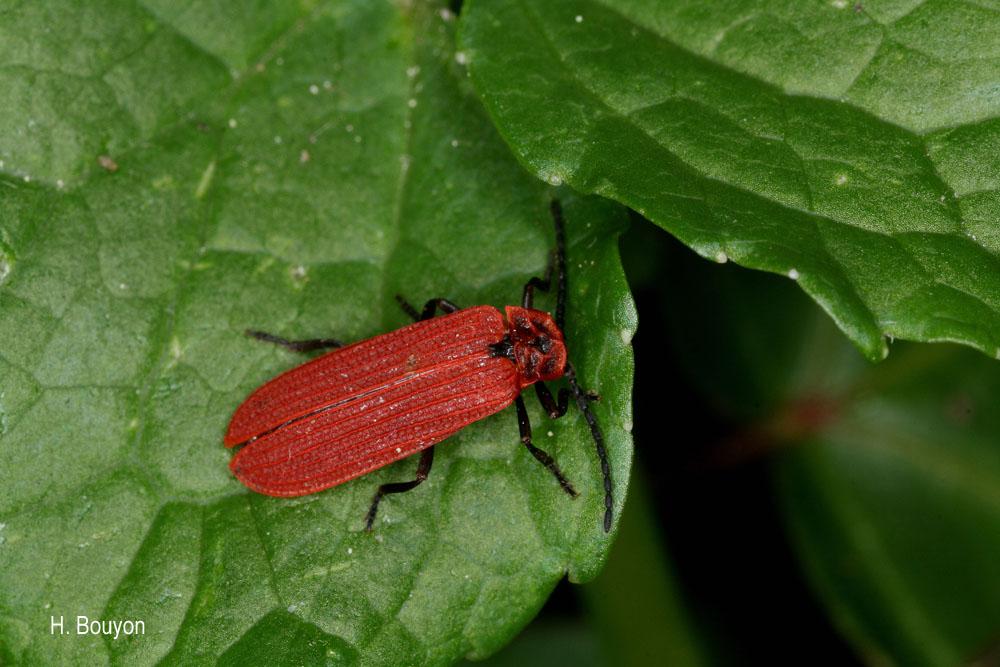 Benibotarus taygetanus