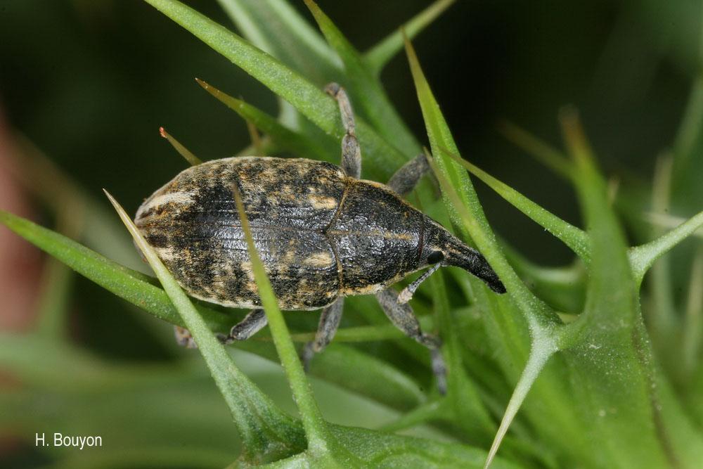 Larinus rusticanus