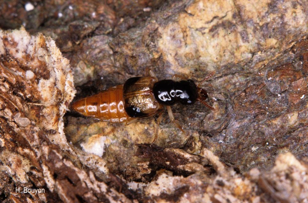Oxyporus maxillosus