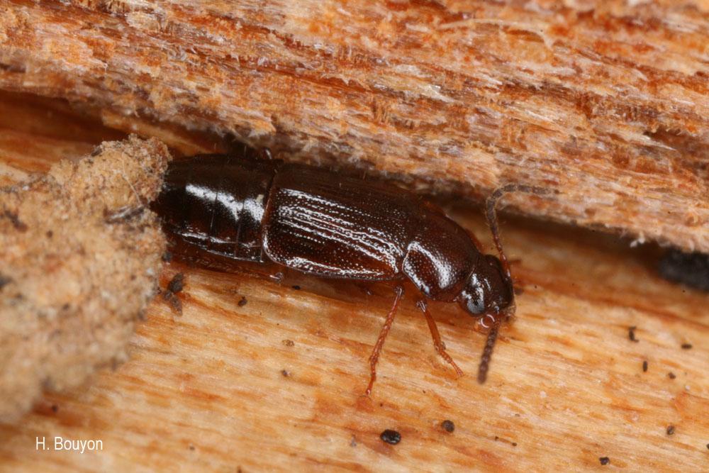 Phyllodrepoidea crenata