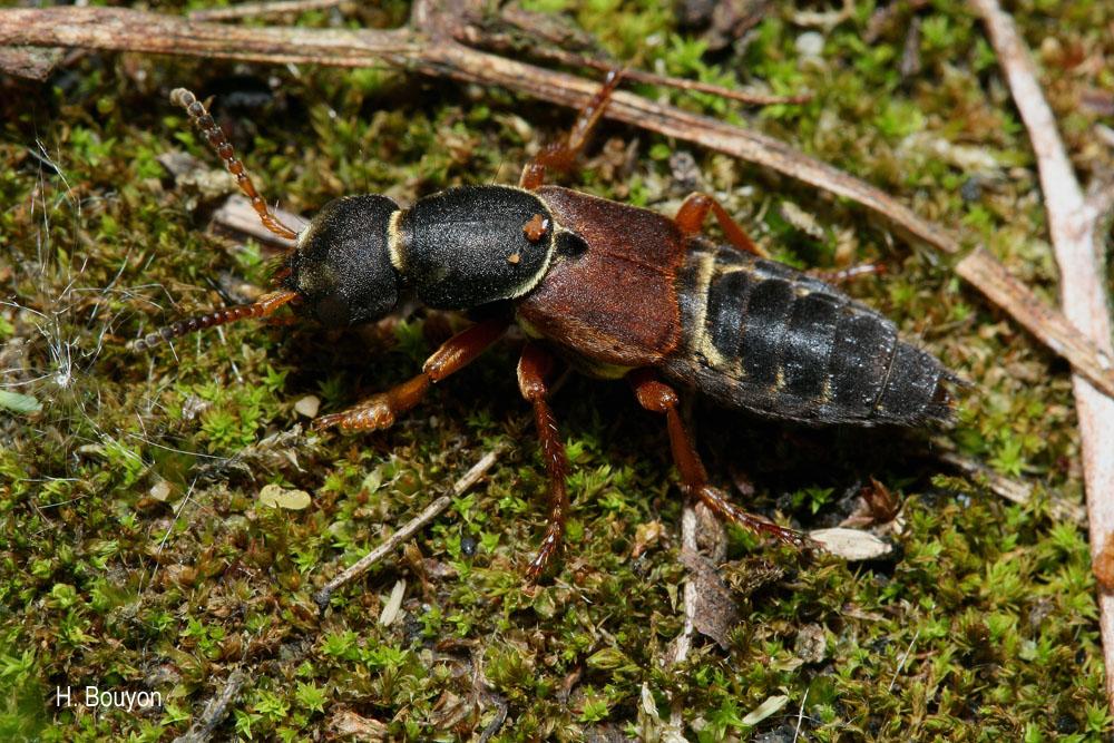 Staphylinus dimidiaticornis
