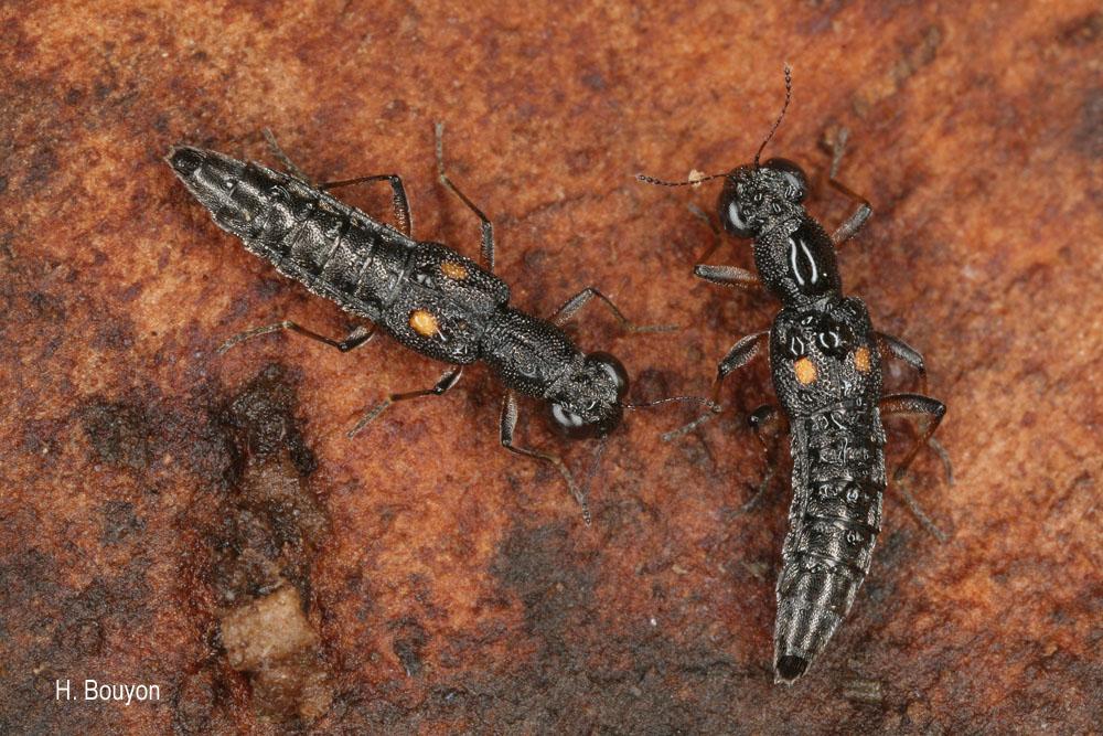 Stenus bimaculatus
