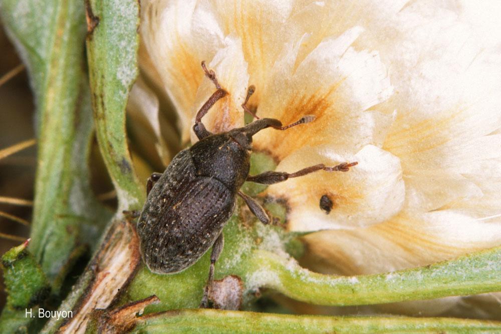 Larinus leuzeae