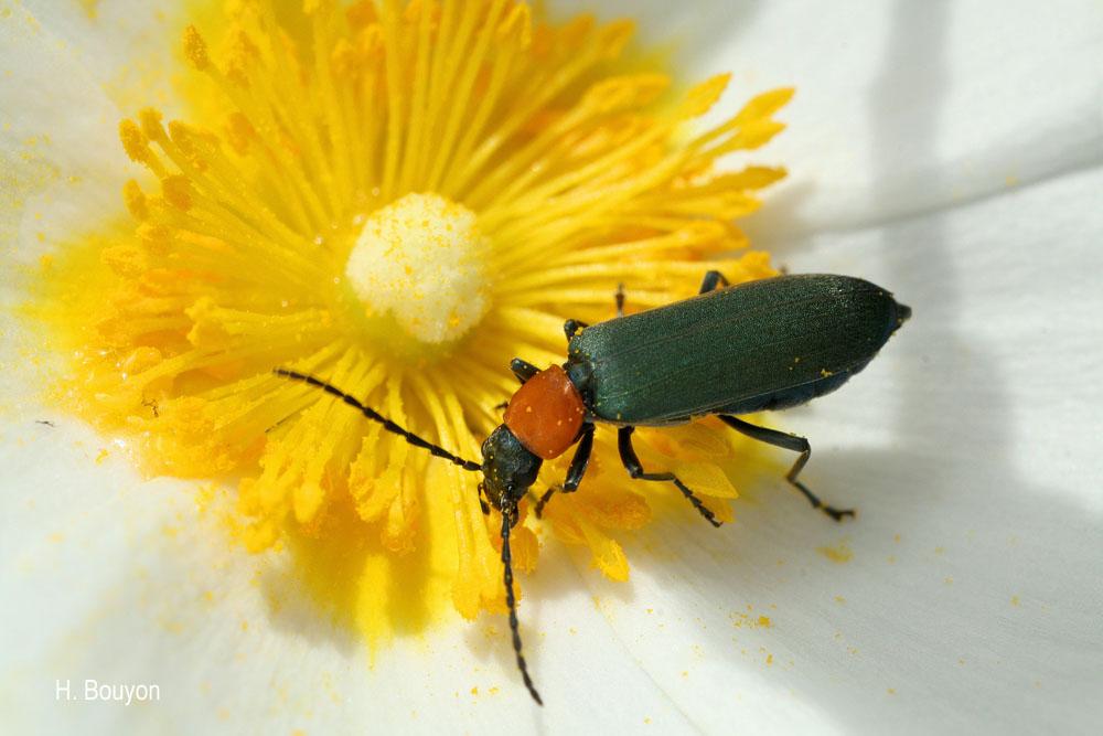Ischnomera xanthoderes