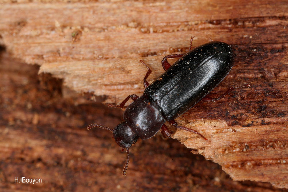 Bius thoracicus
