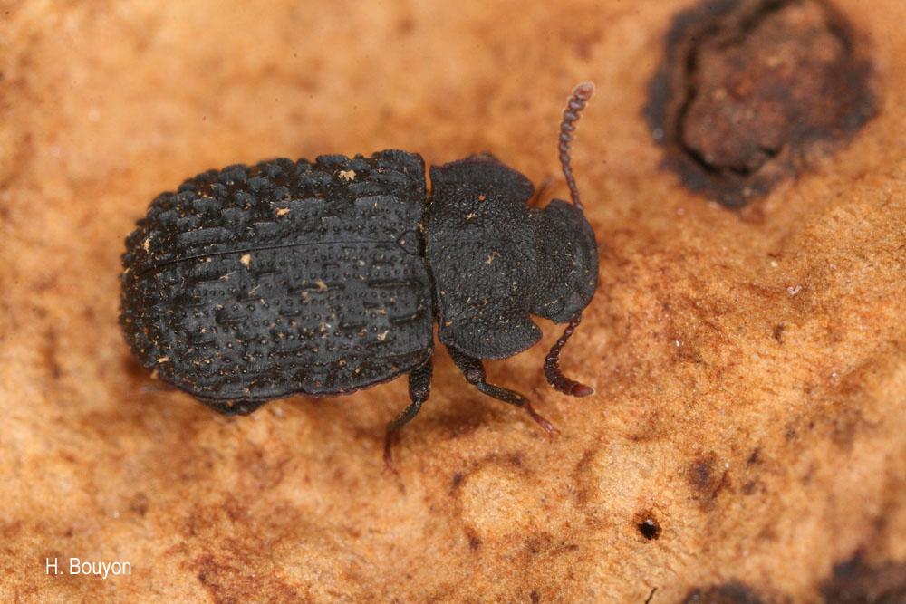 Bolitophagus interruptus