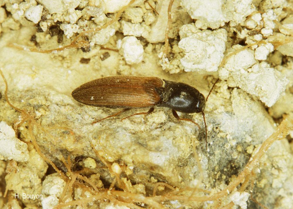 Agriotes ustulatus