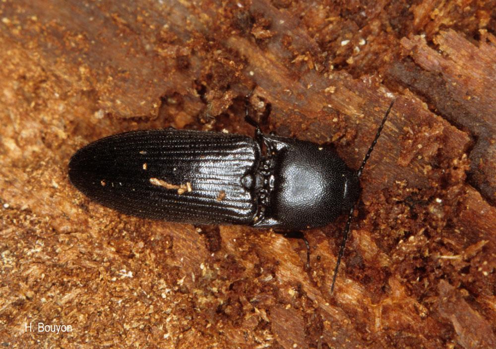 Ampedus scrofa