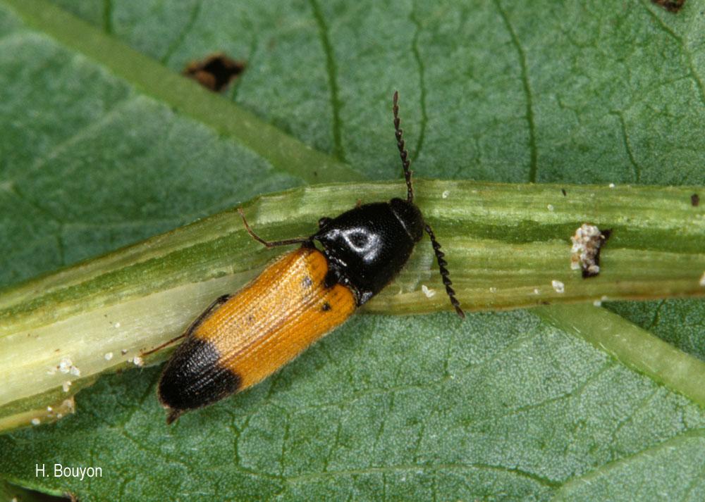 Ampedus elegantulus