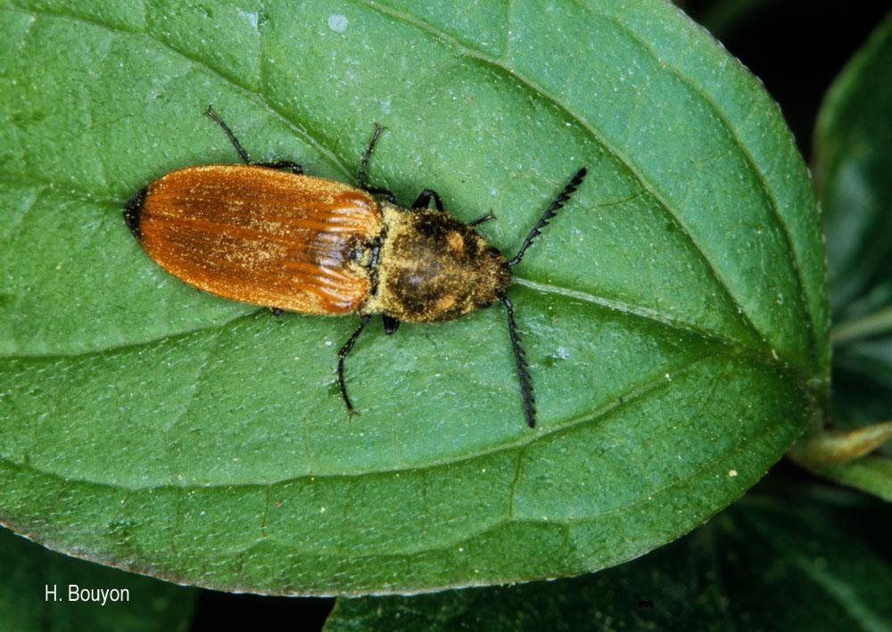 Anostirus castaneus
