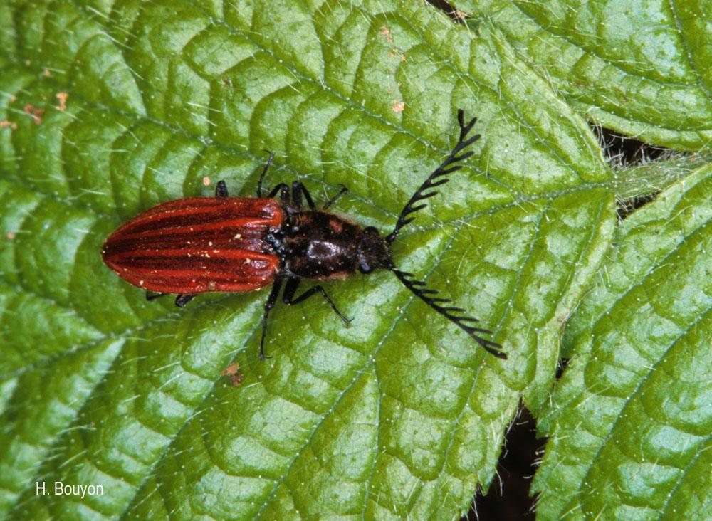 Anostirus purpureus