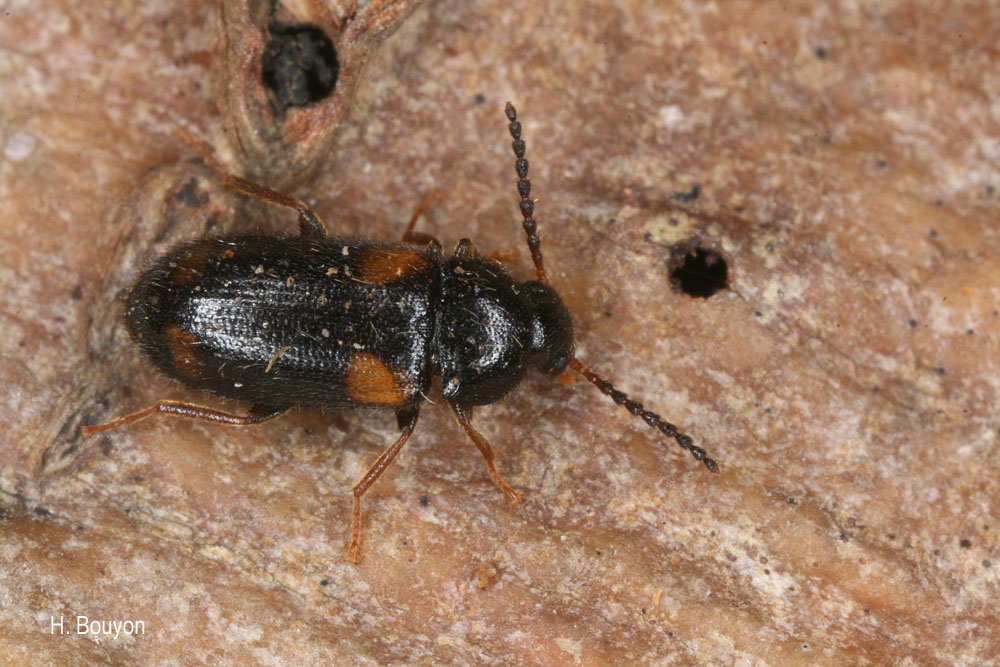 Mycetochara quadrimaculata