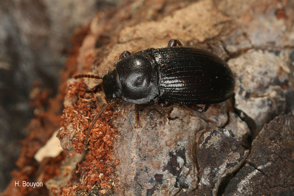 Nalassus harpaloides