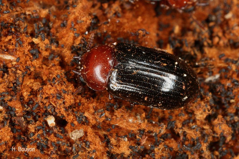 Neomida haemorrhoidalis