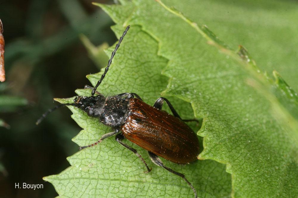 Omophlus pubescens