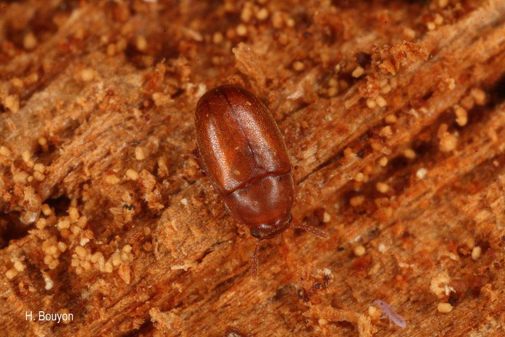 Pentaphyllus testaceus