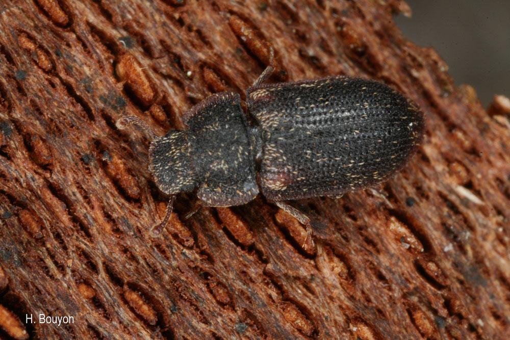 Colobicus hirtus