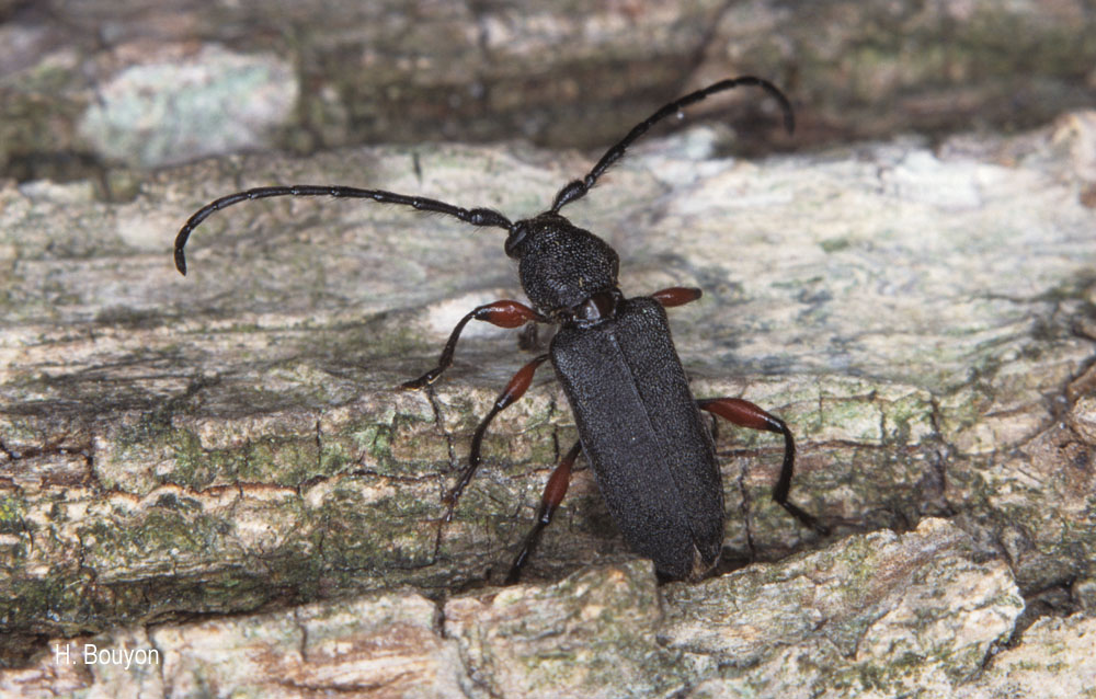 Ropalopus femoratus