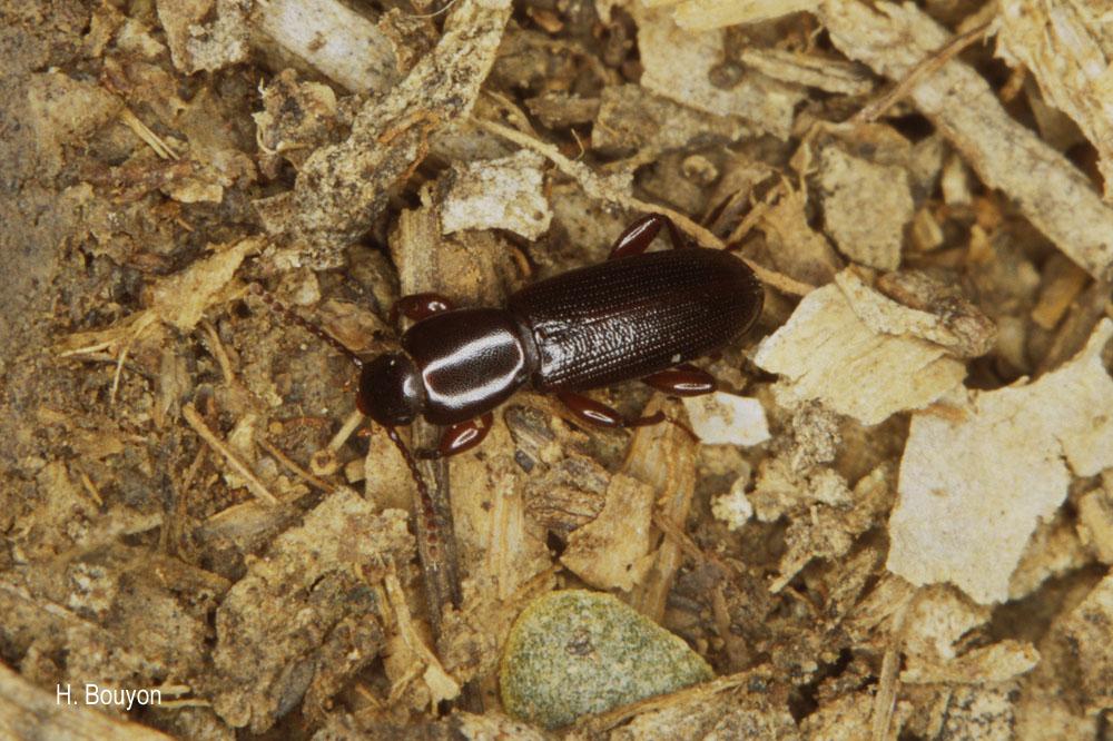 Centorus procerus