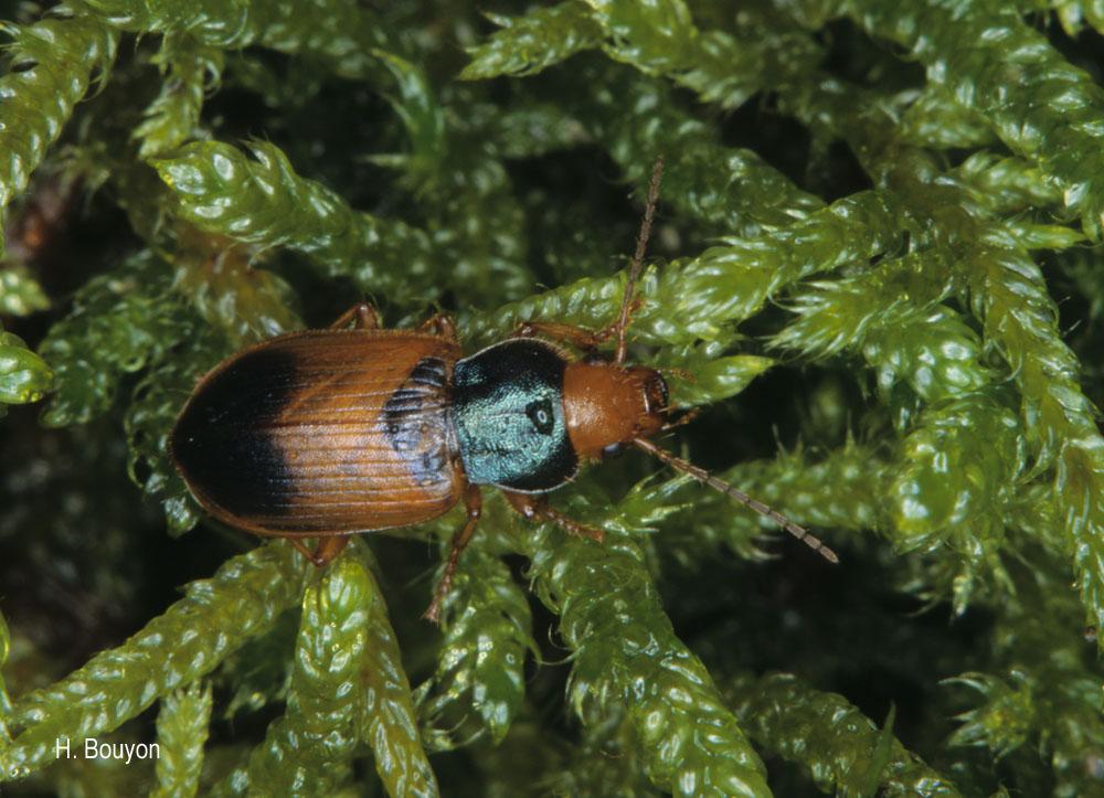 Diachromus germanus