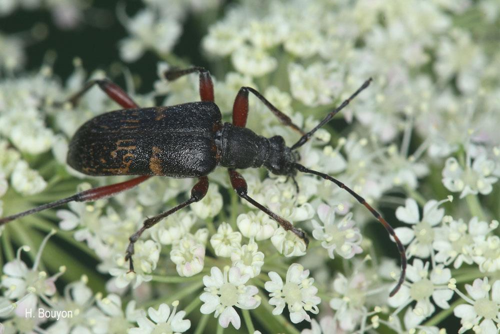 Evodinus clathratus