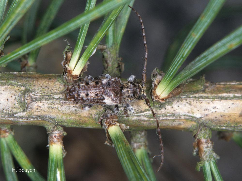 Pogonocherus fasciculatus
