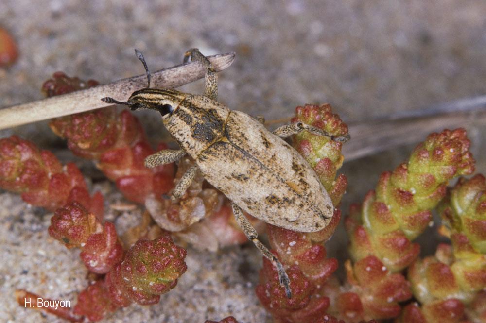 Cleonis pigra