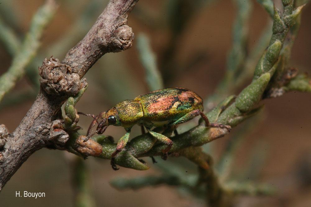 Coniatus tamarisci
