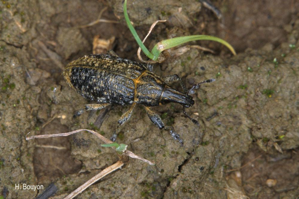 Cyphocleonus trisulcatus