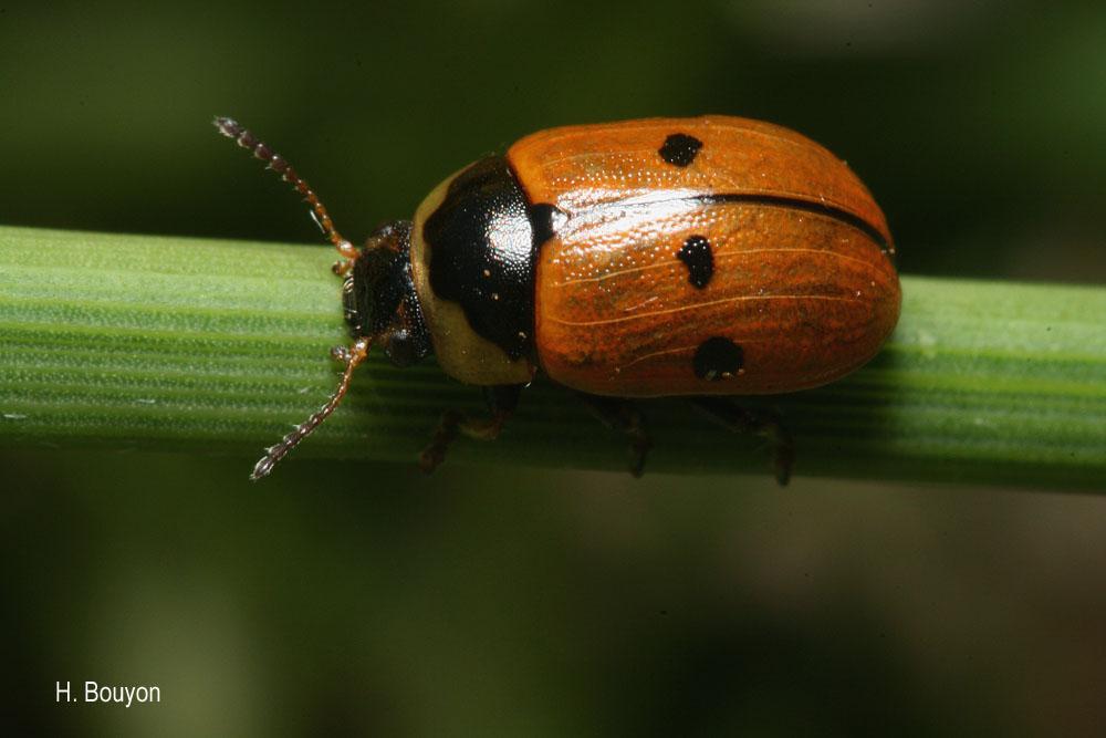 Gonioctena variabilis