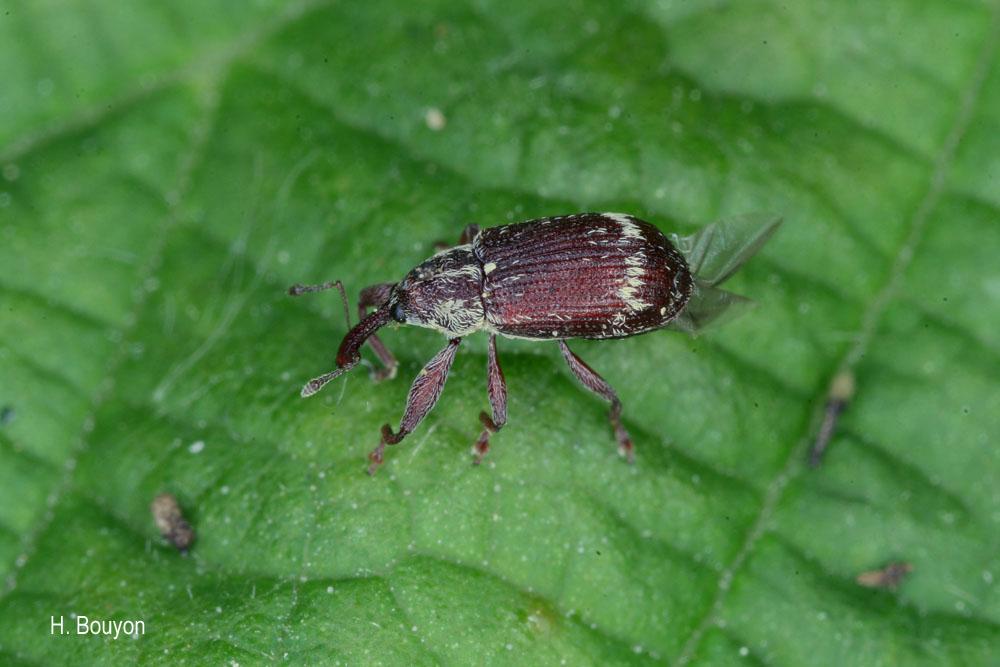 Anthonomus undulatus