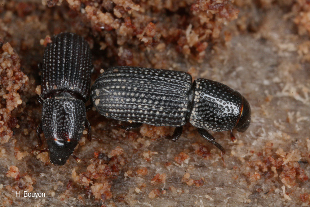 Brachytemnus porcatus