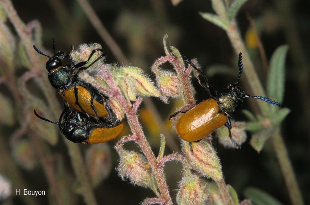 Labidostomis taxicornis