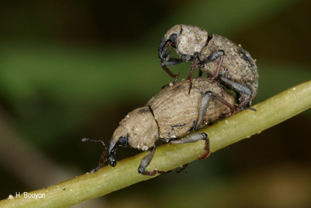Bagous longitarsis
