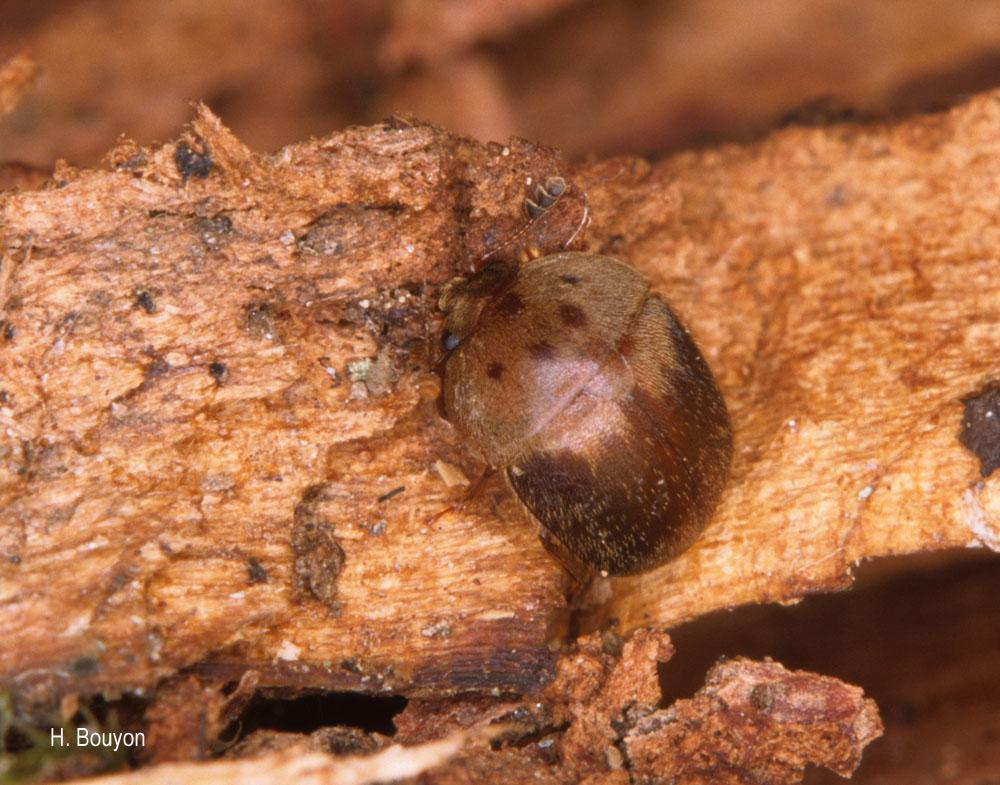 Cychramus variegatus