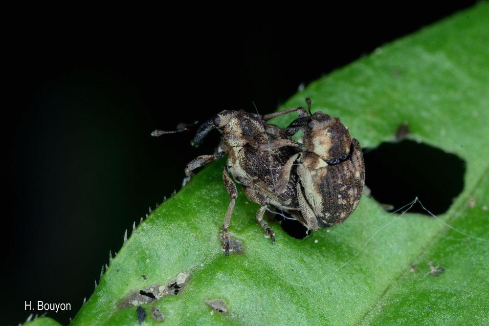 Pelenomus quadrituberculatus