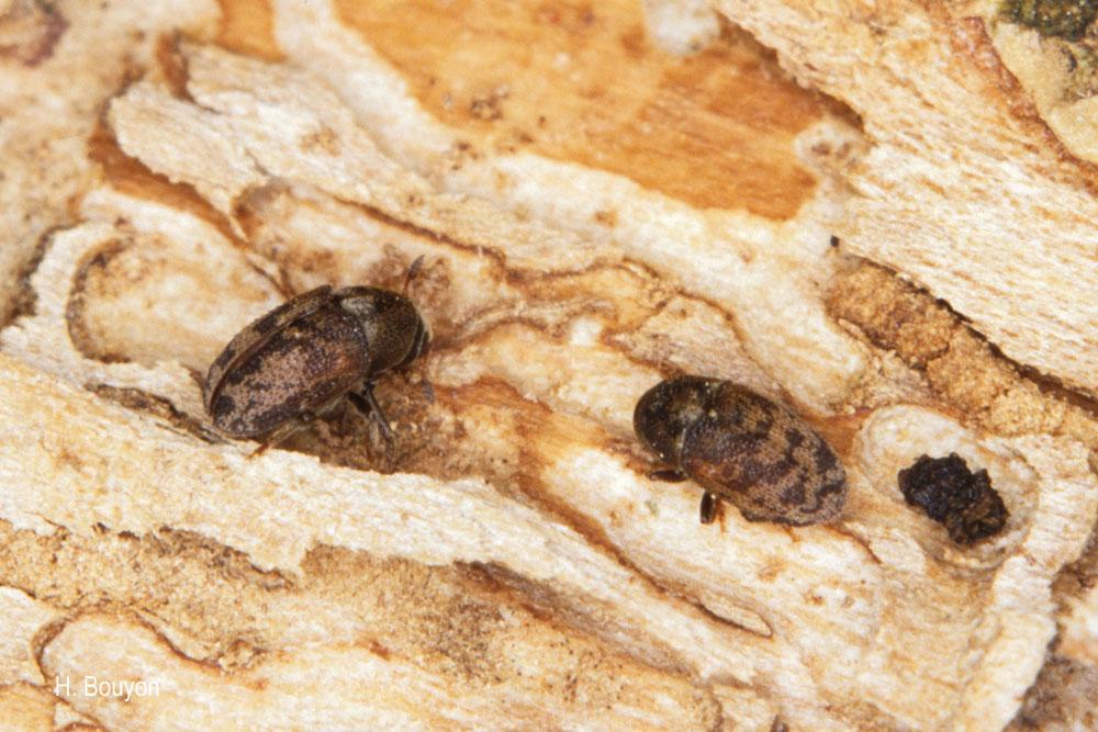 Hylesinus varius