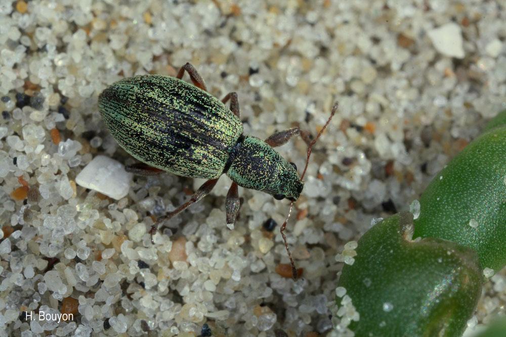 Polydrusus pulchellus