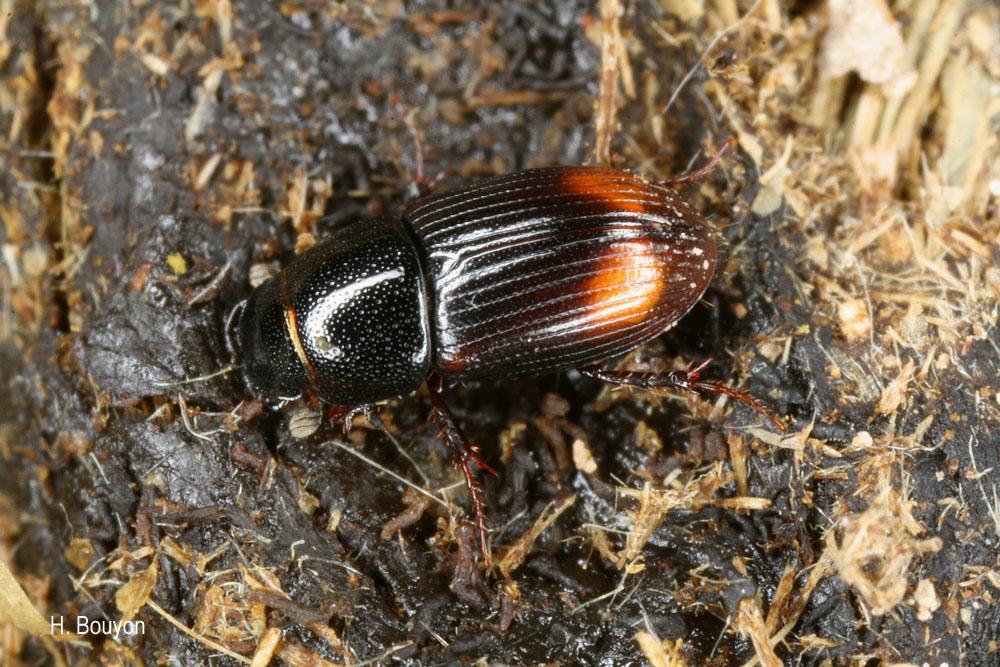 Phalacronothus biguttatus