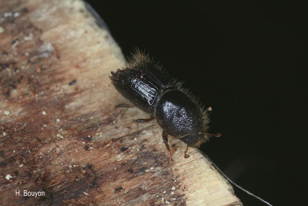 Ips sexdentatus